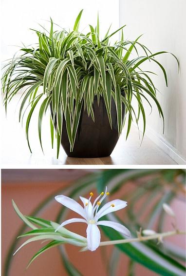 plantas de interior chlorophytum comosum