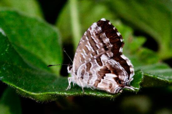 mariposa geranios